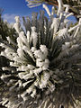 2014-12-18 09 01 09 Rime on pine needles after freezing fog in Elko, Nevada.JPG