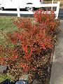2014-12-21 13 22 52 Azalea cultivar 'Rosebud' in early winter along Terrace Boulevard in Ewing, New Jersey.JPG