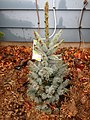2014-12-24 13 30 05 Sapling of Blue Spruce cultivar 'Mission Blue' in Ewing, New Jersey.JPG