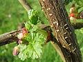 20140326Ribes uva-crispa02.jpg
