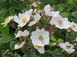 20140509Rosa multiflora04.jpg