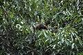 2014 Borneo Luyten-De-Hauwere-Bornean orangutan-09.jpg