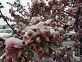 2015-04-08 07 43 44 A wet spring snow on Crabapple blossoms along Commercial Street in Elko, Nevada.jpg