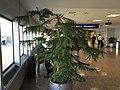 2015-11-03 10 08 41 Araucaria at Salt Lake City International Airport, Utah.jpg