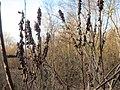 20160129Amorpha fruticosa1.jpg