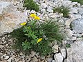 2017-06-25 (21) Ranunculus montanus (mountain buttercup) at Schneeberg, Austria.jpg