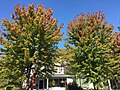 2017-10-02 13 47 50 Freeman's Maples displaying the beginnings of fall color along Stockton Street (Mercer County Route 571) near Center Street in Hightstown Borough, Mercer County, New Jersey.jpg