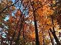 2017-11-10 16 49 15 View up into the canopy of a wooded area during late autumn along Stone Heather Drive in the Chantilly Highlands section of Oak Hill, Fairfax County, Virginia.jpg