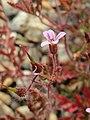 20170621Geranium robertianum3.jpg