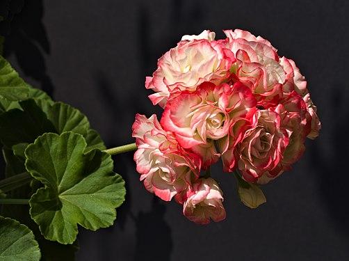2018-08-30 Pelargonium zonale 'Appleblosom Rosebud'.jpg