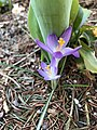 2019-04-04 18 10 56 Crocuses blooming along Tranquility Court in the Franklin Farm section of Oak Hill, Fairfax County, Virginia.jpg
