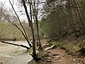 2019-04-13 14 16 46 View north along the Bull Run-Occoquan Trail within a grove of Eastern Hemlock saplings between the Yellow Trail and the Red Trail within Hemlock Overlook Regional Park, in southwestern Fairfax County, Virginia.jpg