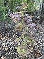 2019-11-07 11 41 18 A White Ash sapling in late autumn along a walking path in the Franklin Farm section of Oak Hill, Fairfax County, Virginia.jpg