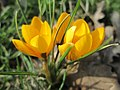 20190223Crocus chrysanthus4.jpg