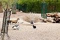 2020-04 Tierpark Köthen (07) Asiatischer Pfau.jpg