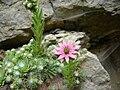 20 juin 08 fleurs doubs à identifier.jpg