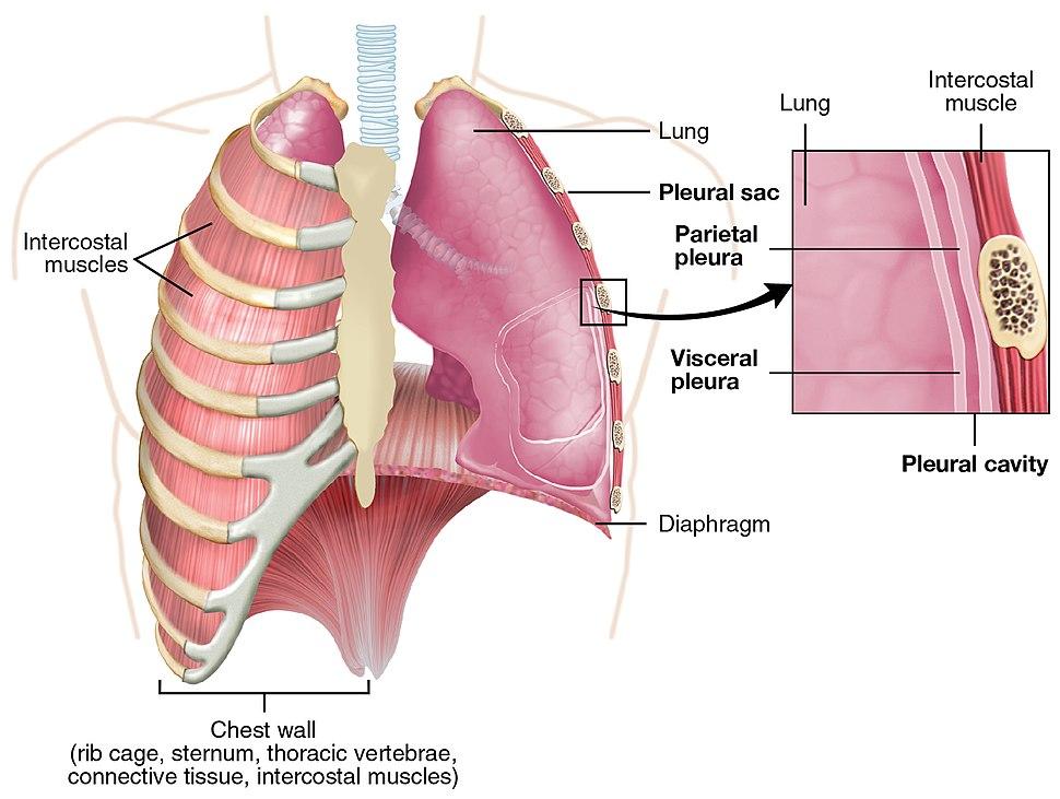 2313 The Lung Pleurea