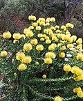 9 Leucospermum cordifolium - YellowBird - Pincushion protea - SA.jpg
