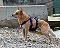 ACD Waterrescuedog Red Manor's Candogan.jpg