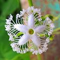 A Beautiful flower of snake gourd plant (Trichosanthes cucumerina).jpg