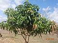 A Mango tree of Odisha.JPG