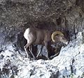 A Ram at West Butte, Harney County, Oregon (13992071157).jpg