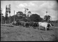 A bullock team at Christie's Bush, near Christie's Mill, Hikurangi, 1911. ATLIB 287519.png
