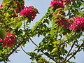 A closeup of Bougainvillea.JPG