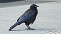 A crow at the University of Victoria, BC (DSCF5778).jpg