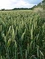 A field of crops near Wartnaby - geograph.org.uk - 909554.jpg