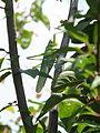 A grasshopper on a tree (9185209205).jpg