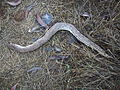 A killed 'Headless Sand-Boa' of magnificient size..JPG