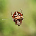 A little spider (428489274).jpg