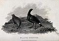 A male and female black grouse. Etching by J. Scott, ca. 180 Wellcome V0022767.jpg