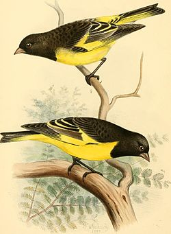 A monograph of the weaver-birds, Ploceidae, and arboreal and terrestrial finches, Fringillidae (1888) (14563890138).jpg