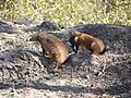 A pair of stripe-necked mongoose AJTJ P1080512.jpg