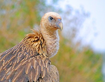 A portrait of Himalayan Griffon Vulture.jpg