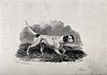 A setter prowling through grass. Etching by J. W. Archer aft Wellcome V0020540.jpg