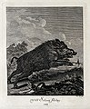 A wild boar running. Etching by J. E. Ridinger. Wellcome V0021060EL.jpg