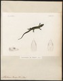 Ablepharus peronii - 1700-1880 - Print - Iconographia Zoologica - Special Collections University of Amsterdam - UBA01 IZ12600081.tif