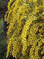 Acacia saligna(04).jpg