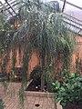 Acacia stenophylla.jpg