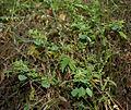 Acalypha indica W IMG 4052.jpg