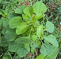 Acalypha indica plant 13.JPG