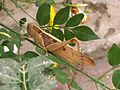 Acanthacris ruficornis. Acrididae - Flickr - gailhampshire.jpg