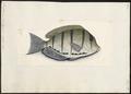 Acanthurus triostegus - 1700-1880 - Print - Iconographia Zoologica - Special Collections University of Amsterdam - UBA01 IZ13700027.tif