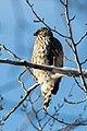 Accipiter cooperi (45068184705).jpg
