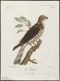 Accipiter tachiro - 1796-1808 - Print - Iconographia Zoologica - Special Collections University of Amsterdam - UBA01 IZ18300093.tif