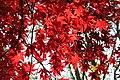 Acer palmatum 'Osakazuki' JPG1c.jpg
