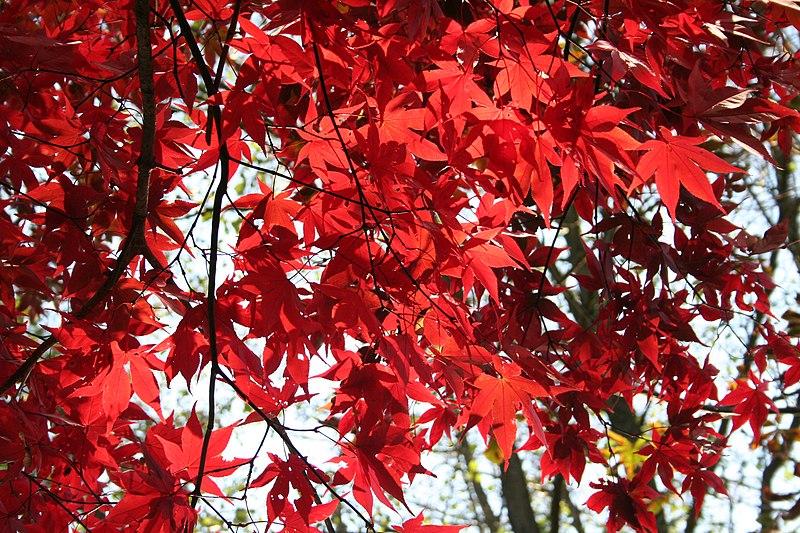 feuilles de l'erable